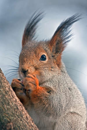 eye red: Eurasian red squirrel eating on the tree