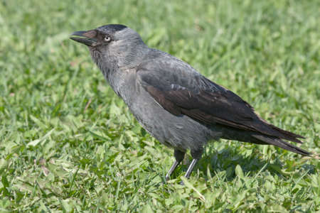 coloeus: Jackdaw  Coloeus monedula  Stock Photo