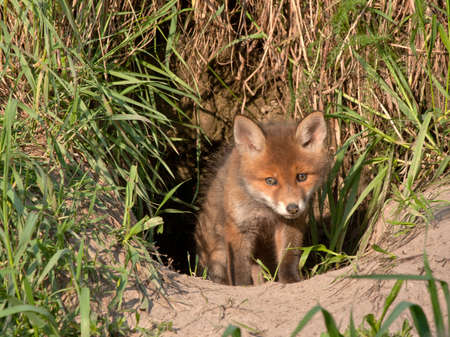 Young fox comes out of the hole  Red fox  Vulpes vulpes  50 days old
