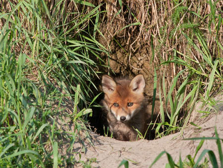animal den: Young fox comes out of the hole  Red fox  Vulpes vulpes  50 days old