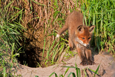 Young fox near the hole  Red fox  Vulpes vulpes  50 days old
