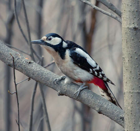 Great Spotted Woodpecker sitting on the tree