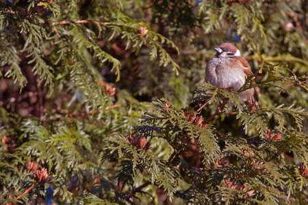 passer by: Sparrow on the juniper  Passer montanus