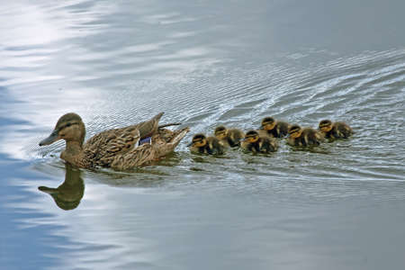 dabbling duck: Duck with ducklings  Stock Photo