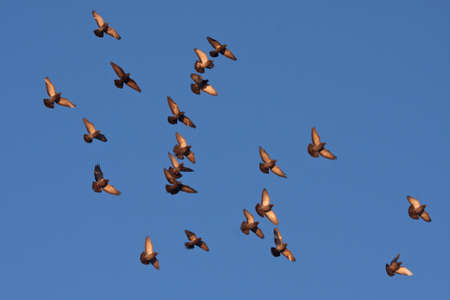 slew: Flying pigeons in the blue sky Rock Dove Columba livia