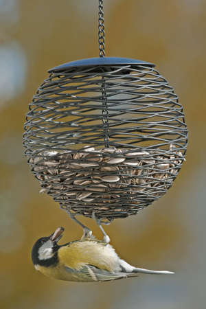 parus major: Titmouse sitting on the feeder. Great Tit Parus major.