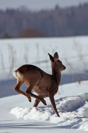 capreolus: Jumping Roe deer on the snow Capreolus capreolus