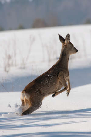 capreolus: Jumping Roe deer on the snow Capreolus capreolus