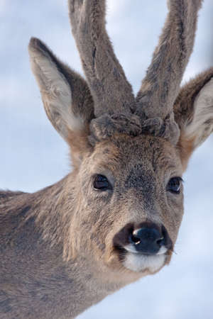 capreolus: Close-up of Roe deer Capreolus capreolus Stock Photo