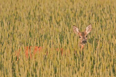 barley head: Roe deer in the field Capreolus capreolus