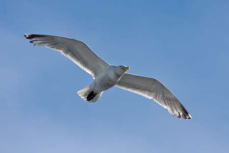 water wings: Seagull flying on the blue sky