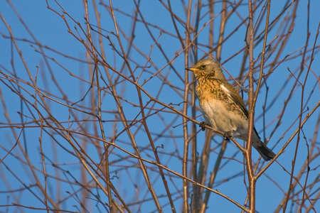 turdus: Fieldfare Turdus pilaris sitting of the tree