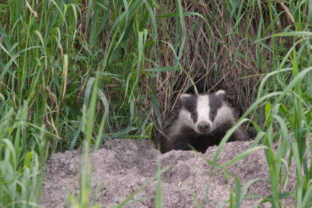 animal den: Badger comes out of the hole. European badger Meles meles. Stock Photo
