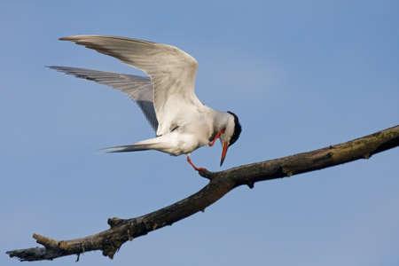 feather: Charr�n com�n Sterna hirundo