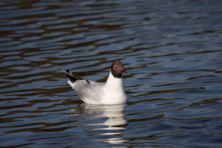 profil: Swimming Black-headed gull Chroicocephalus ridibundus Zdjęcie Seryjne