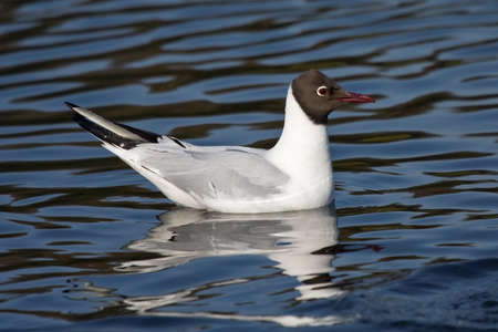 chroicocephalus: Swimming Black-headed gull Chroicocephalus ridibundus Stock Photo