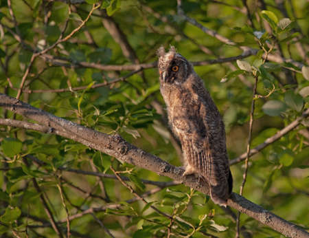 owlet: Owlet in the sunset light. Long-eared owl Asio otus. Stock Photo