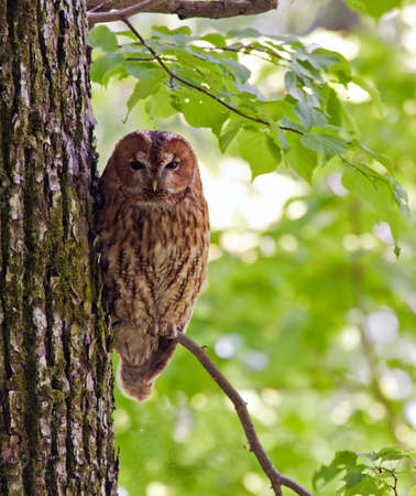 tawny owl: Owl on the tree. Tawny owl or brown owl Strix aluco.