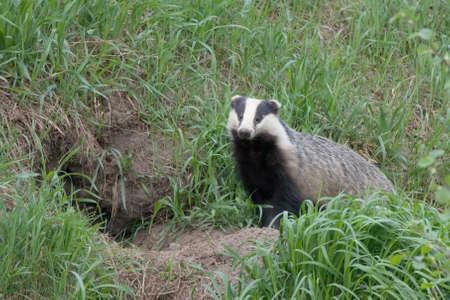 Badger near of the hole. European badger Meles meles Reklamní fotografie