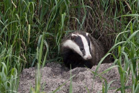 animal den: Badger comes out of the hole. European badger Meles meles