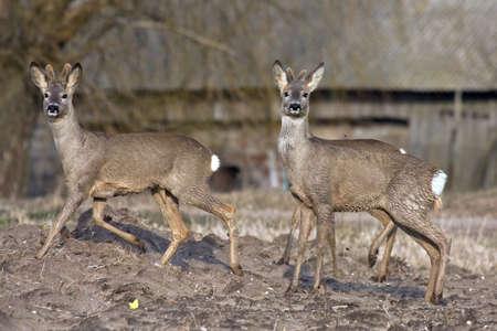Group of roe deer Capreolus capreolus Stock Photo