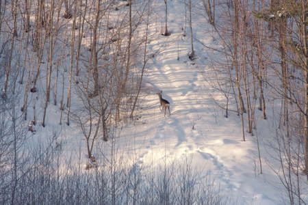 capreolus: Winter landscape with roe deer Capreolus capreolus