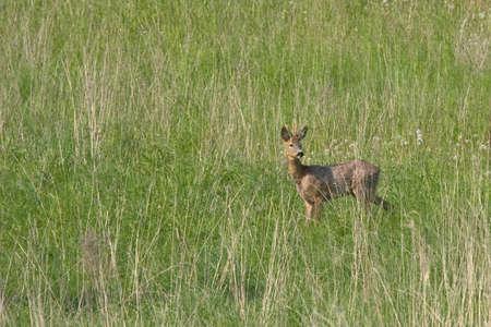capreolus: Roe deer Capreolus capreolus Stock Photo