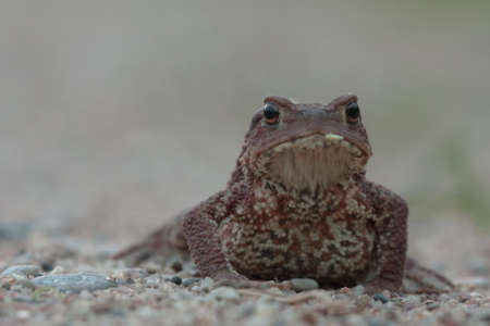 bufo toad: Toad in the night. Common toad or European toad Bufo bufo.