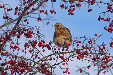 turdus: Fieldfare Turdus pilaris sitting of the hawthorn