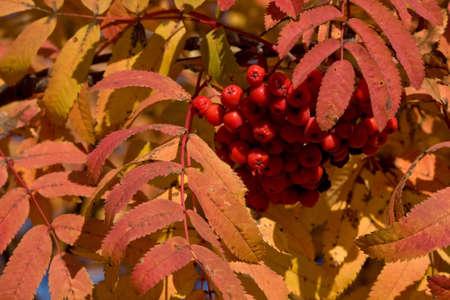 sorbus: Rowan Sorbus aucuparia in the autumn colors