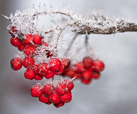 rowan tree: Rowan tree in frost Sorbus aucuparia