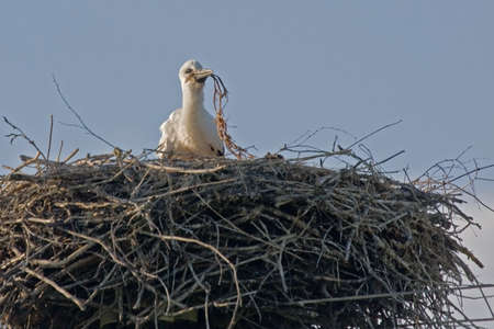 brood: Young white stork in the nest Ciconia ciconia