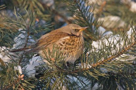 pilaris: Fieldfare Turdus pilaris sitting on the pine-tree