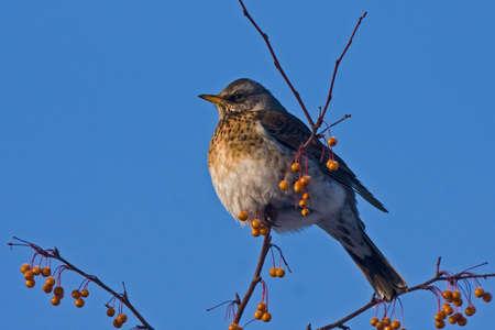 pilaris: Fieldfare Turdus pilaris sitting of the branch