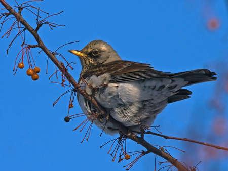 turdus: Fieldfare Turdus pilaris sitting of the branch