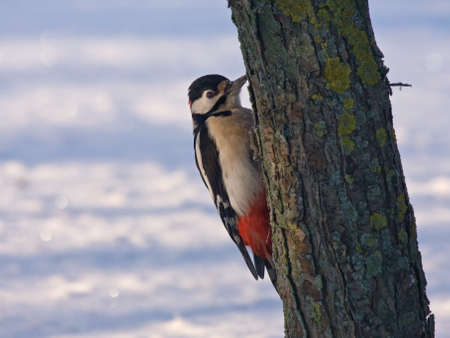 rhythmical: Great Spotted Woodpecker sitting on the tree