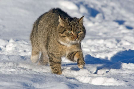 Tabby cat walking on the snow Stock Photo