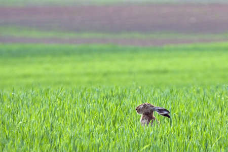 hark: Hare sitting in the grass on the field. European hare Lepus europaeus.