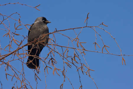 coloeus: Jackdaw Coloeus monedula