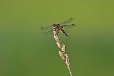 libellula: Broad-bodied chaser Libellula depressa, female sitting on the blade