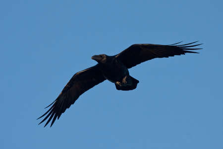 corax: Common raven Corvus corax flying on the blue sky