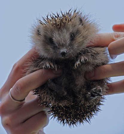 hedgehog: Young hedgehog in the human hands. European hedgehog Erinaceus europaeus. Stock Photo