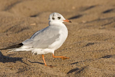 Black-headed gull Chroicocephalus ridibundus