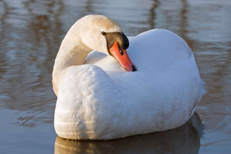 olor: Close-up of Mute Swan (Cygnus olor) Stock Photo