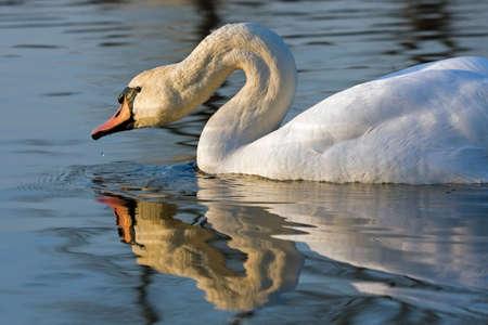 cygnus olor: Close-up of Mute Swan (Cygnus olor) Stock Photo