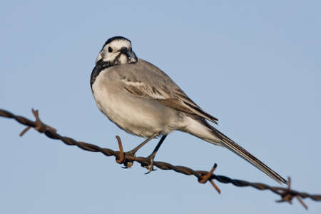 wire fence: White wagtail (Motacilla alba) sitting on the barbed wire