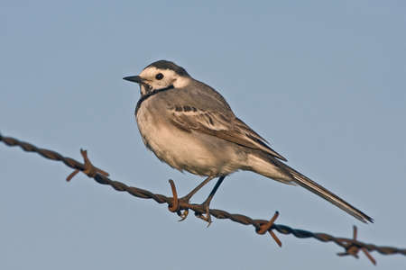 motacilla: White wagtail (Motacilla alba) sitting on the barbed wire