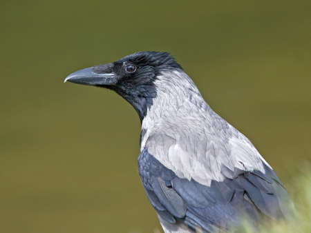 hooded: Close-up of crow. Hooded Crow (Corvus cornix).