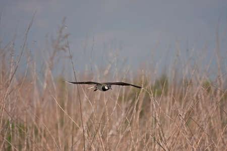 북부 Lapwing (Vanellus vanellus) 비행 중에