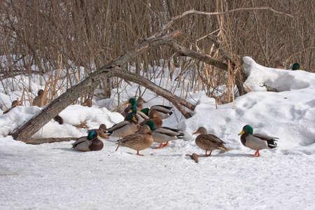 dabbling: Mallards on the ice Stock Photo